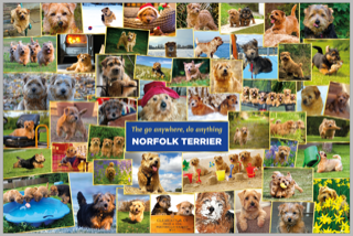 All about Norfolk Terriers