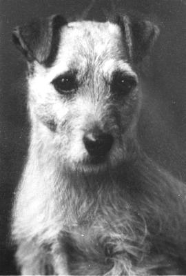 Norfolk Terrier History - Babbling Binks was born in 1925 and was the grandsire of Little Jane. This photograph gives an indication of the breed's Irish Terrier ancestry but one can see where retouching was done to remove a lot of coat and make the dog altogether slimmer than he really was.