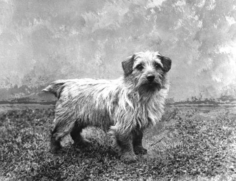 Norfolk Terrier History - Ch Colonsay Junior, born in 1952, grandsire of Ch Colonsay Orderley Dog and Ch Banston Belinda.
