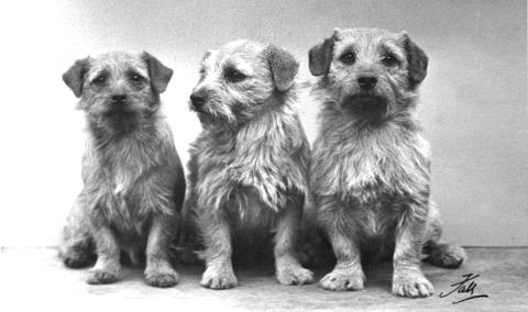 Norfolk Terrier History - Miss Macfie's Ch Minx of Furzyhurst, born in 1956 (left). Colonsay Musical Box born in 1955 and Ch Colonsay Junior (right)