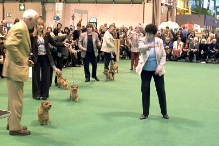 The Norfolk Terrier Ring Unbeaten Bitches  'Take them round'