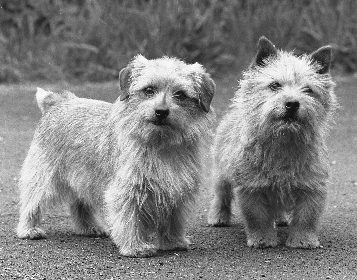 A typical Ragus Norfolk and Norwich Terrier